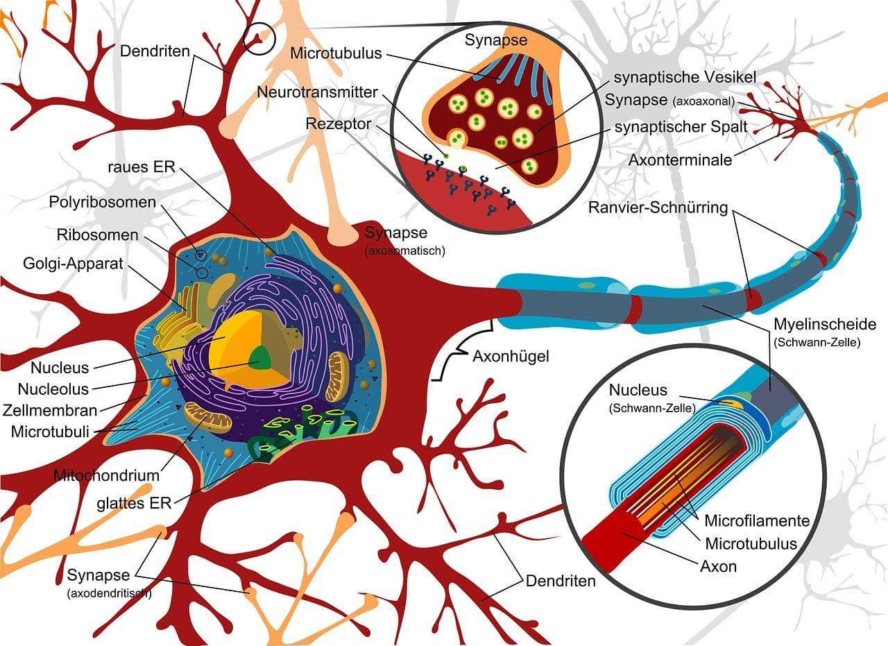 タリージェ・リリカ・サインバルタと神経の痛み・神経障害性疼痛の解説