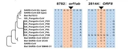 新型コロナS型とL型の違いの表