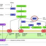 新型コロナウイルスと高血圧、降圧剤のACE阻害薬とARB