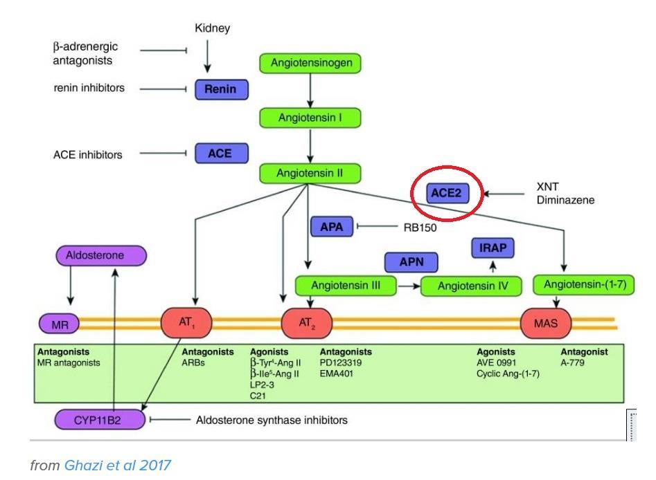 レニン・アンジオテンシン系 新型コロナウイルスと高血圧や降圧剤ACE