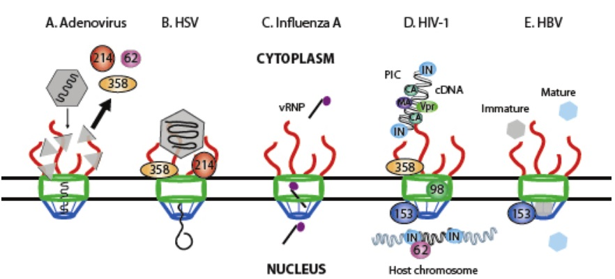 ウイルスの核移行の方法